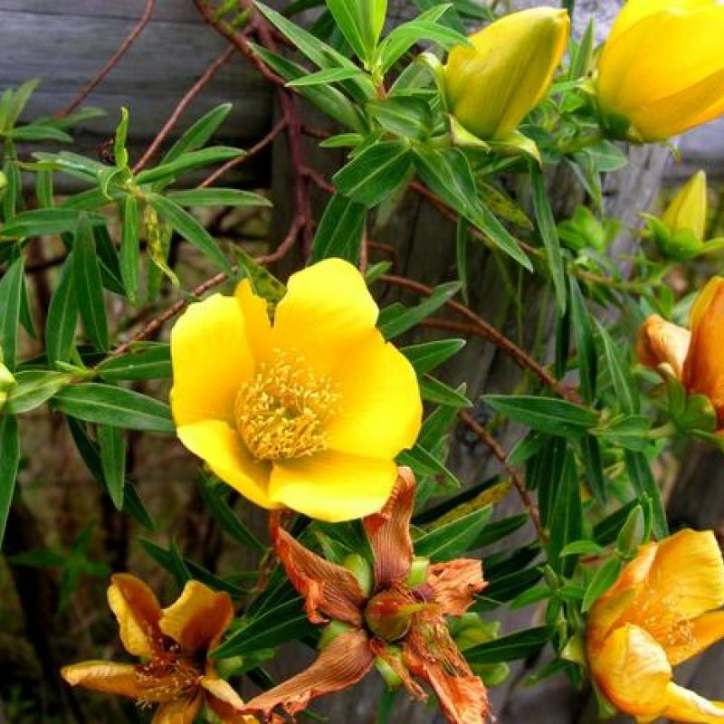 Fleur Jaune 40g Tisane